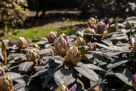 Green bud opens in spring to reveal the flowers of the rhododendron plant