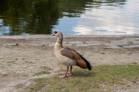 The Egyptian goose stands in the grass on a sunny day Stock Photo