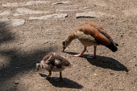 Little goose chicks with an adult Egyptian goose walking in the park