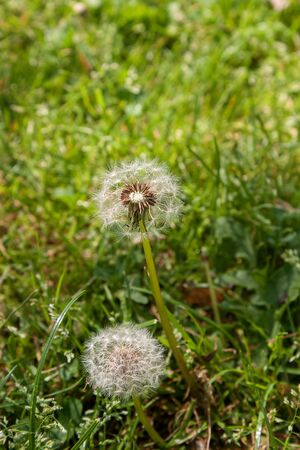White dandelions grow in green grass in the park