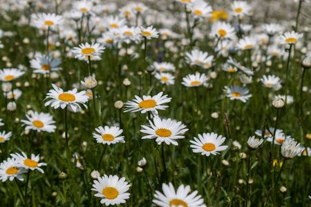 White flowers and green grass growing up in the park Stock Photo
