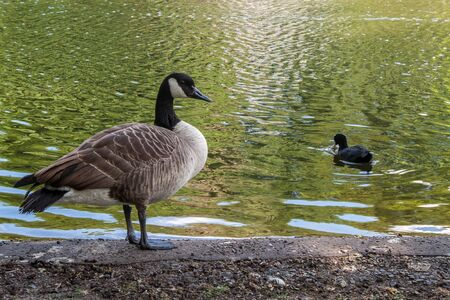Canadian goose stands on the shores of the lake Stock Photo