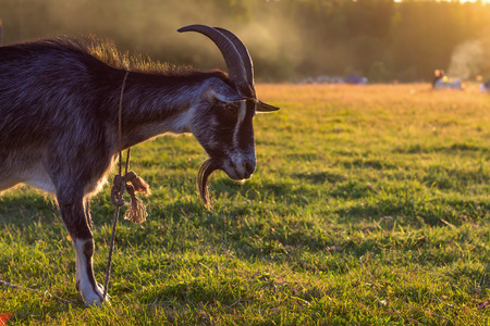 billy goat: Lonely goat standing on the grass at sunset