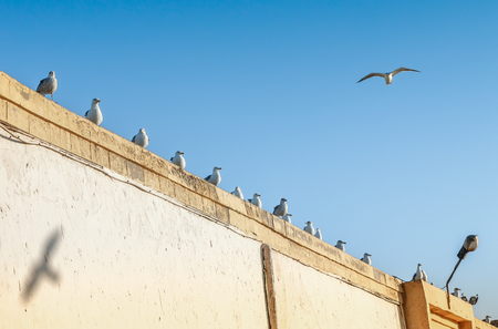 gaviota: Muchas gaviotas posadas en una pared en Essaouira, Marruecos