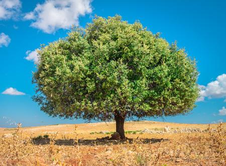 climbing plant: Argan tree in the sun against the blue sky