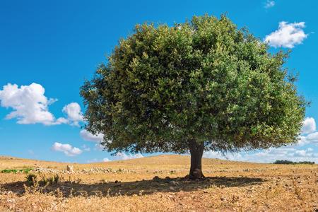 Argan boom in de zon tegen de blauwe hemel
