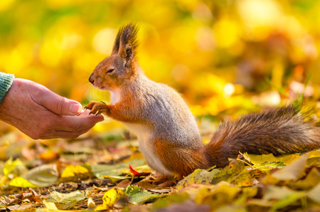 communicates: Squirrel communicates with man in the autumn park in St Petersburg
