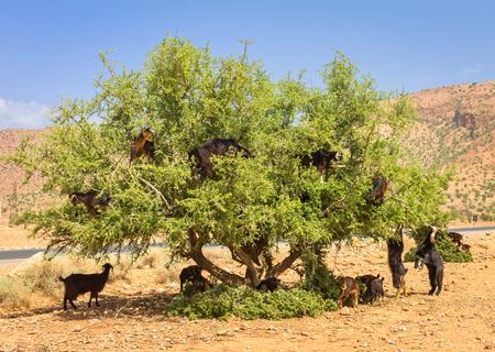 모로코의 아르간 나무에서 염소가 방목하다.