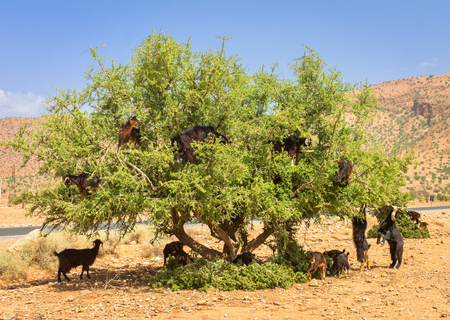 Goats graze in argan trees in Morocco Banque d'images