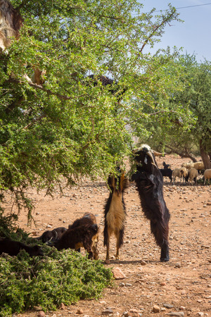 Goats graze in argan trees in Morocco Stock Photo