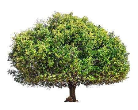 Arganboom Marokko. Boom die op een witte achtergrond wordt geïsoleerd. Geïsoleerde groene boom. Argan geïsoleerde boom Stockfoto