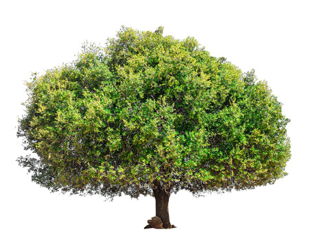 Argan tree Morocco. Tree isolated on a white background. Isolated green tree. Argan tree isolated Banque d'images