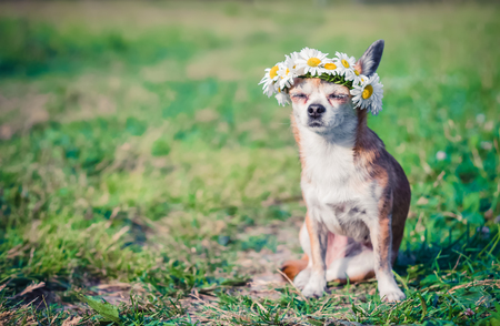 A little cute little dog with a wreath of daisies on his head sits in the sun in the field. Stock Photo