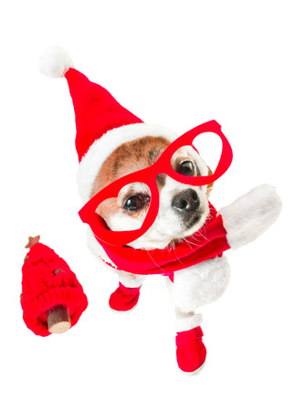 Cute dog chihuahua in santa claus costume with red christmas tree and red glasses on the eyes on isolated white background. Chinese New Year 2018 The Year of the Dog
