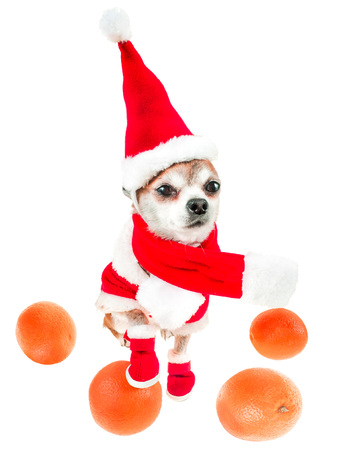 Smiling dog chihuahua in santa claus costume with oranges isolated on white background. Chinese New Year 2018 The Year of the Dog