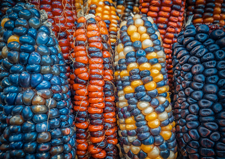 Indian colored corn background Stock Photo