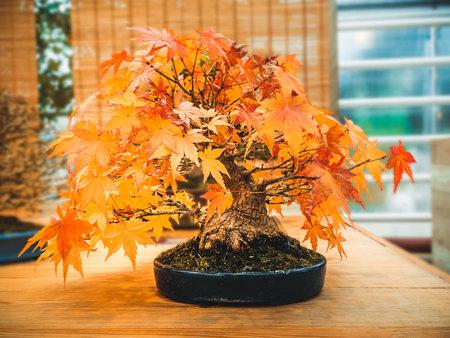 Árbol de arce bonsai escarlata rojo árbol de acer bonsai palmatum de arce tridente en otoño Foto de archivo
