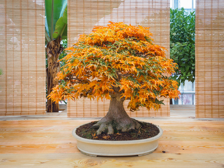 red scarlet bonsai maple tree palmatum bonsai tree of trident maple in autumn shishigashira mapple bonsai.