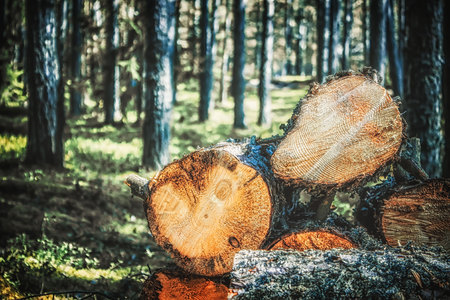 logs of trees in the forest after felling. felled tree trunks. Logging. Selective focus on photo Stock Photo