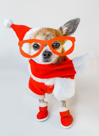 Cute dog chihuahua in santa claus costume with red glasses on the eyes on isolated white background. Chinese New Year 2018 The Year of the Dog