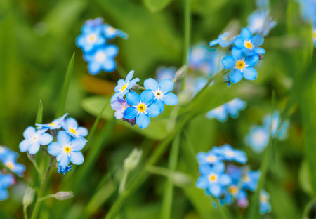Water forget-me-not Myosotis scorpioides Myosotis palustris Myosotis flower. Spring flower background is blurred