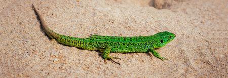 Green sand lizard Lacerta agilis on sand. Panoramic banner