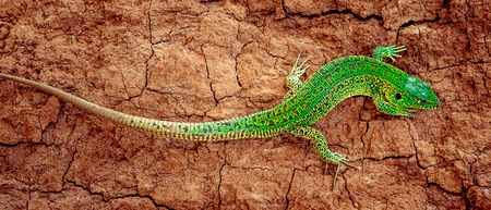 Green sand lizard Lacerta agilis on brown cracked ground. Panoramic banner Stock Photo