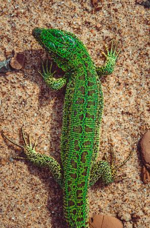 Green sand lizard Lacerta agilis on sand Stock Photo