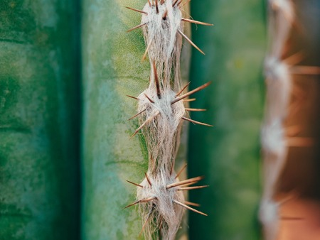Green Cactus Pachycereus marginatus Closeup Trunk Detail Showing its Spike Rows on the Ribs.