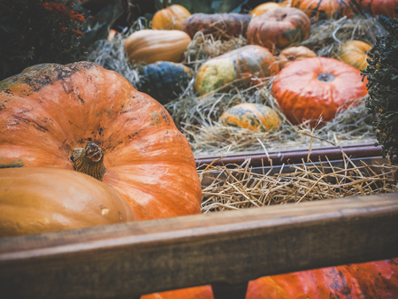 Many large orange pumpkins lie in the cart. Autumn street decoration. Autumn harvest of pumpkins prepared for the holiday. Stock Photo