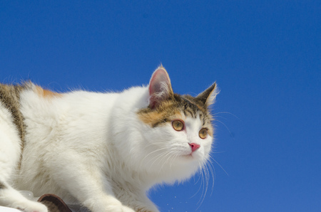 Beautiful calico cat walking on snowy roof of the house Kitty sitting on the roof top on a sunny christmas day