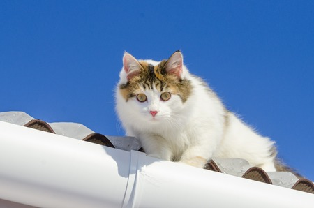 Beautiful calico cat walking on snowy roof of the house Kitty sitting on the roof top on a sunny christmas day. Looking at the camera Stock Photo