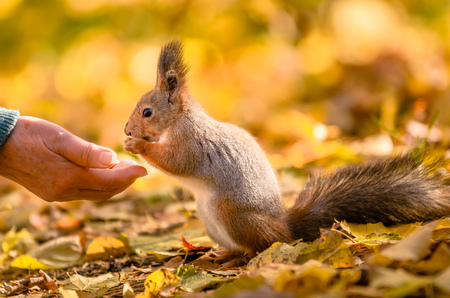 Squirrel communicates with human in the autumn park