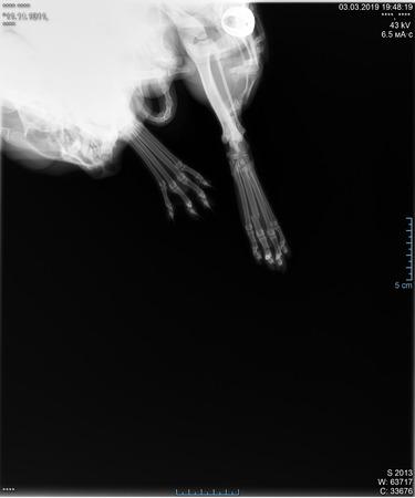 Radiographie de la fracture de la patte du chat. Radiographie de la patte cassée d'un chat