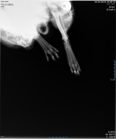 X-ray of cats paw fracture. Radiograph of the broken paw of a cat