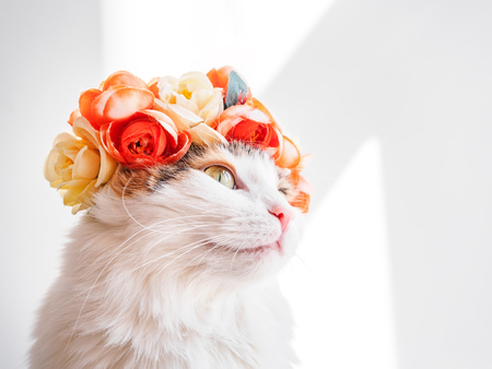 Beautiful Calico Cat with a wreath on his head. Cute kitty in a flowers diadem on her head sits in the sun and looks away. Фото со стока