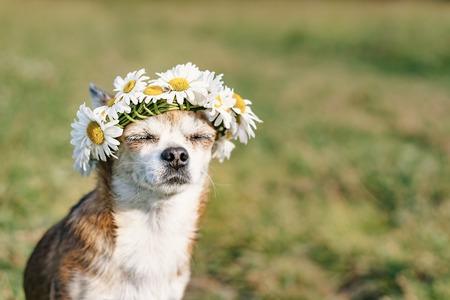 Un lindo perrito chihuahua con una corona de manzanilla en la cabeza se sienta al sol en el prado con los ojos cerrados. Perrito disfrutando del sol. Perro relajado