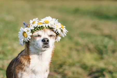 A cute little dog chihuahua with a wreath of chamomile on her head sits in the sun in the meadow with closed eyes. Doggy enjoying the sun. Chilling out dog