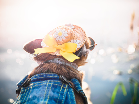 Chihuahua wearing straw hat, sunglasses and denim overalls enjoys sun on the river bank . Cute little doggie takes sun baths outdoor. A fashionably dressed chihuahua doggie rests in nature, looks at the water and enjoys freedom