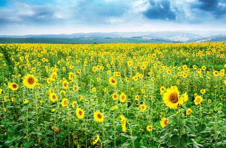 Beautiful bright yellow flower in a field of sunflowers