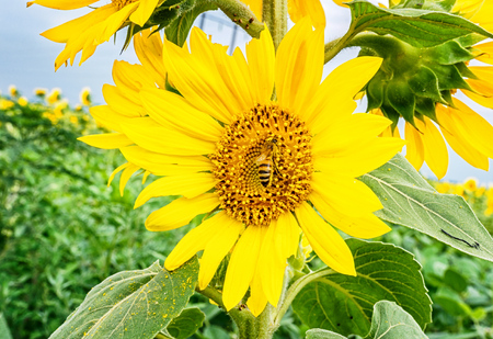 Bush sunflower with the main heads of flowers.. Bee pollinates a flower of a sunflower in the field. Mimicry of insects. Beautiful bright yellow flower in a field of sunflowers