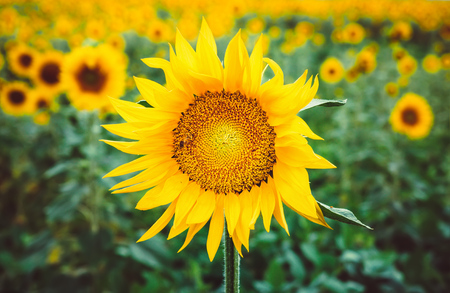 Bee pollinates a flower of a sunflower in the field. Mimicry of insects. Beautiful bright yellow flower in a field of sunflowers Stock Photo