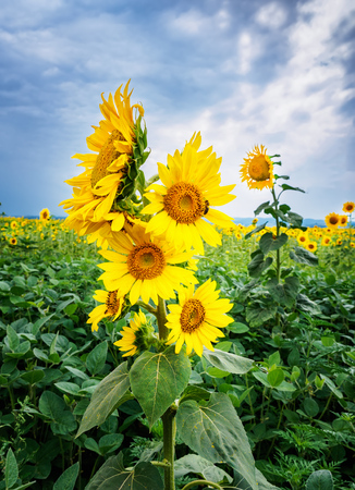 Bush sunflower with the main heads of flowers. Bee pollinates a flower of a sunflower in the field. Mimicry of insects. Beautiful bright yellow flower in a field of sunflowers