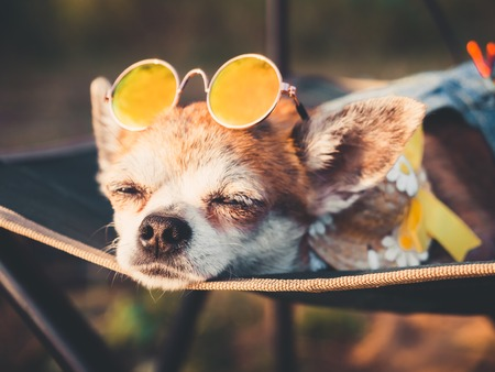 Chihuahua wearing sunglasses and straw hat lies in a hammock slightly opened eyes near a beach enjoying the sun. Fashionable dog dressed in a denim suit resting on the nature and sunbathes. Hippie dog resting outdoor