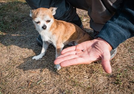 The tick engorged with blood moves on the man hand close up, swollen tick stirs in the palm of a man removed from the dog. The dog looks and shivers from the stress caused by the extraction of the tick