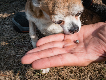 The tick engorged with blood moves on the man hand close up, swollen tick stirs in the palm of a man removed from the dog. The dog sniffs a tick that has been removed from its body Stock Photo