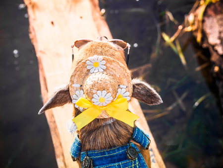 Chihuahua wearing straw hat, sunglasses and denim overalls enjoys sun on the river bank .