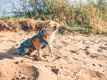 Chihuahua wearing sunglasses and straw hat lies on a beach by the river enjoying the sun. Fashionable dog dressed in a denim suit resting on the beach and sunbathes. Hippie dog resting on the nature