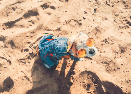 Chihuahua wearing sunglasses and straw hat sits on a beach by the river enjoying the sun. Fashionable dog dressed in a denim suit resting on the beach and sunbathes. Hippie dog resting on the nature. A little chihuahua dog in round sunglasses looks into the camera
