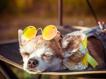Chihuahua wearing sunglasses and straw hat lies in a hammock near a beach enjoying the sun. Fashionable dog dressed in a denim suit resting on the nature and sunbathes. Hippie dog resting outdoor